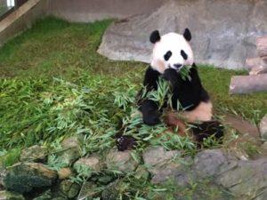 1.パンダが多い&活動的